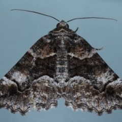 Gastrina cristaria (Wave-lined Geometrid) at Ainslie, ACT - 15 Oct 2020 by jbromilow50
