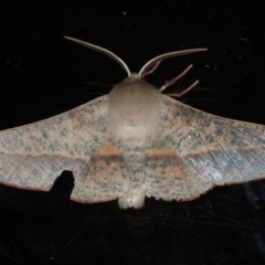 Antictenia punctunculus (A geometer moth) at Ainslie, ACT - 15 Oct 2020 by jbromilow50