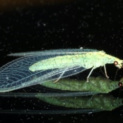 Pseudomallada edwardsi (A Green Lacewing) at Ainslie, ACT - 15 Oct 2020 by jbromilow50