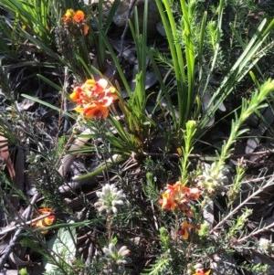 Dillwynia sericea at Gossan Hill - 14 Oct 2020