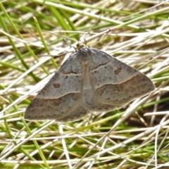 Antasia flavicapitata (Yellow-headed Heath Moth) at Brindabella National Park - 15 Oct 2020 by JohnBundock