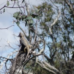 Pogona barbata (Eastern Bearded Dragon) at Stromlo, ACT - 16 Oct 2020 by Jean
