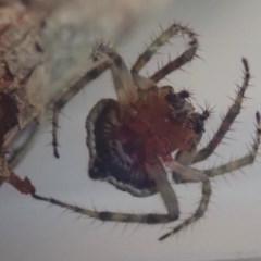 Dolophones sp. (genus) at suppressed - 15 Oct 2020