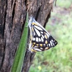 Belenois java (Caper White) at Hughes, ACT - 16 Oct 2020 by ruthkerruish