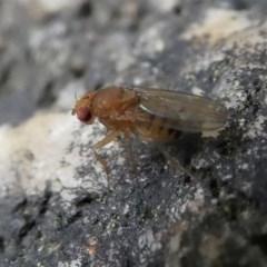 Drosophila sp. (genus) (Fruit Fly) at Kambah, ACT - 16 Oct 2020 by HarveyPerkins