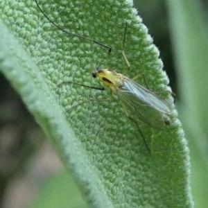 Chironomidae sp. (family) at Kambah, ACT - 16 Oct 2020