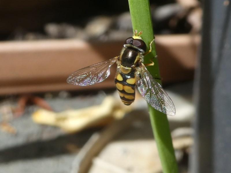 Simosyrphus grandicornis at Kambah, ACT - 16 Oct 2020