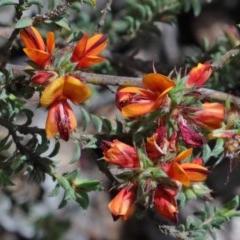 Pultenaea procumbens (Bush Pea) at Dryandra St Woodland - 15 Oct 2020 by ConBoekel