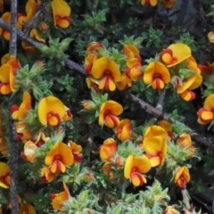Pultenaea procumbens (Bush Pea) at Dryandra St Woodland - 15 Oct 2020 by ConBoekel