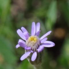 Vittadinia cuneata var. cuneata (Fuzzy New Holland Daisy) at Dryandra St Woodland - 15 Oct 2020 by ConBoekel