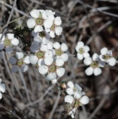 Leptospermum multicaule (Teatree) at Dryandra St Woodland - 15 Oct 2020 by ConBoekel