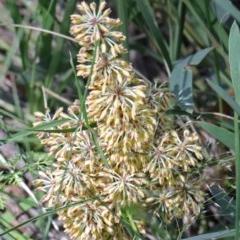 Lomandra multiflora (Many-flowered Matrush) at Dryandra St Woodland - 15 Oct 2020 by ConBoekel