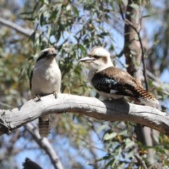 Dacelo novaeguineae (Laughing Kookaburra) at Bruce Ridge - 14 Oct 2020 by Alison Milton