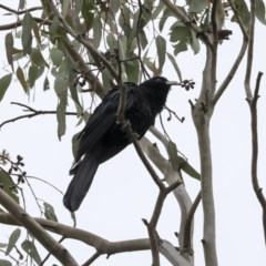 Eudynamys orientalis (Eastern Koel) at Higgins, ACT - 13 Oct 2020 by Alison Milton