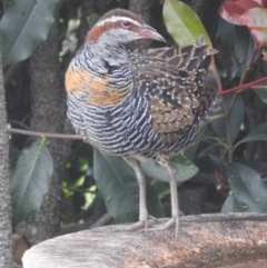 Hypotaenidia philippensis (Buff-banded Rail) at Berry, NSW - 16 Oct 2020 by Andrejs