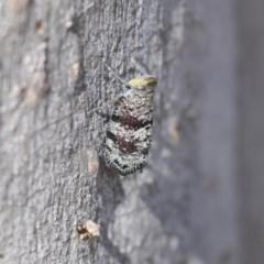 Platybrachys decemmacula (Green-faced gum hopper) at Bruce, ACT - 14 Oct 2020 by Alison Milton