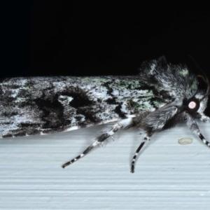 Prometopus inassueta at Ainslie, ACT - 15 Oct 2020
