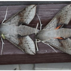 Hippotion scrofa (Coprosma Hawk Moth) at Lilli Pilli, NSW - 6 Oct 2020 by jbromilow50