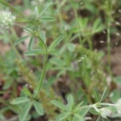 Trifolium arvense var. arvense (Haresfoot Clover) at Red Hill Nature Reserve - 15 Oct 2020 by kieranh