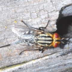 Sarcophagidae sp. (family) (Unidentified flesh fly) at Black Mountain - 12 Oct 2020 by Harrisi