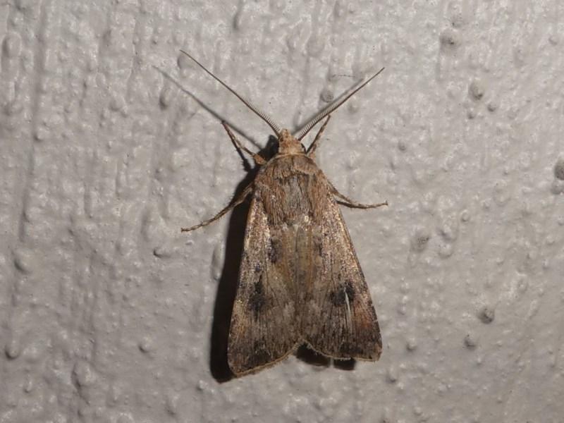 Persectania (genus) at Kambah, ACT - 12 Oct 2020