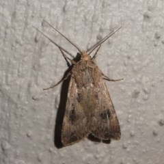 Persectania sp.(genus) (A Noctuid moth) at Kambah, ACT - 12 Oct 2020 by HarveyPerkins