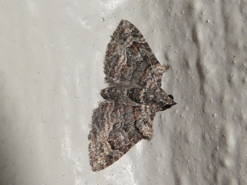 Phrissogonus laticostata at Kambah, ACT - 12 Oct 2020