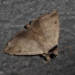 Pantydia sparsa ( A noctuid moth) at Kambah, ACT - 12 Oct 2020 by HarveyPerkins