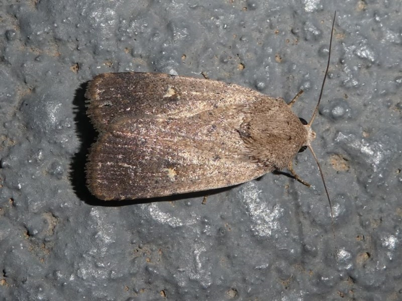 Proteuxoa tibiata at Kambah, ACT - 12 Oct 2020
