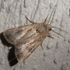 Agrotis sp. (genus) at Kambah, ACT - 12 Oct 2020 by HarveyPerkins