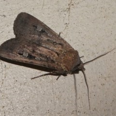 Agrotis infusa (Bogong Moth, Common Cutworm) at Kambah, ACT - 12 Oct 2020 by HarveyPerkins