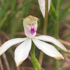 Caladenia moschata (Musky caps) at Burra, NSW - 15 Oct 2020 by Safarigirl