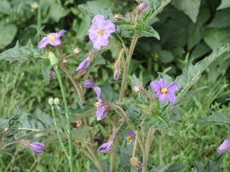 Solanum cinereum at Red Hill Nature Reserve - 15 Oct 2020