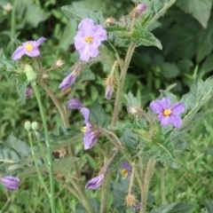 Solanum cinereum (Narrawa Burr) at Red Hill Nature Reserve - 15 Oct 2020 by kieranh
