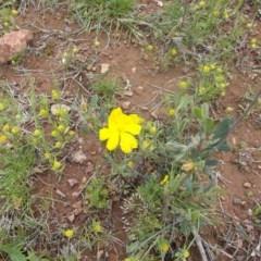 Hibbertia obtusifolia (Grey Guinea-flower) at Mount Ainslie - 17 Oct 2020 by jamesjonklaas
