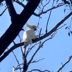 Cacatua galerita (Sulphur-crested Cockatoo) at Gossan Hill - 16 Oct 2020 by goyenjudy