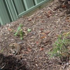 Tiliqua scincoides scincoides (Eastern Blue-tongue) at Kaleen, ACT - 16 Oct 2020 by maura