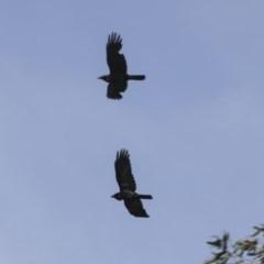 Corvus coronoides (Australian Raven) at Higgins, ACT - 17 Oct 2020 by Alison Milton