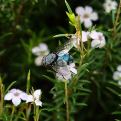 Calliphoridae (family) (TBC) at Mawson, ACT - 17 Oct 2020 by Lindell