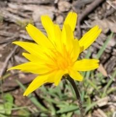 Microseris walteri (Murnong, Yam Daisy) at Bungendore, NSW - 10 Oct 2020 by yellowboxwoodland