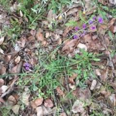 Swainsona recta (Small purple pea) at Lake Ginninderra - 17 Oct 2020 by rainer