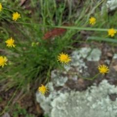 Calotis lappulacea (Yellow burr daisy) at Woodstock Nature Reserve - 10 Oct 2020 by MattM