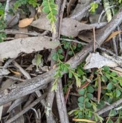 Bossiaea buxifolia (Bush Pea) at Woodstock Nature Reserve - 10 Oct 2020 by MattM