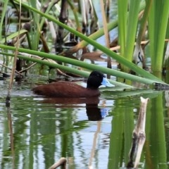 Oxyura australis (Blue-billed Duck) at Jerrabomberra Wetlands - 16 Oct 2020 by RodDeb