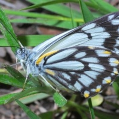 Belenois java (Caper White) at Holt, ACT - 16 Oct 2020 by Harrisi