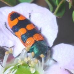 Castiarina crenata (Jewel beetle) at Tianjara, NSW - 17 Oct 2020 by Harrisi
