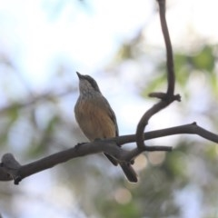 Pachycephala rufiventris (Rufous Whistler) at Cook, ACT - 16 Oct 2020 by Tammy