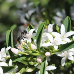 Megachile sp. (several subgenera) (Resin Bees) at Cook, ACT - 15 Oct 2020 by Tammy
