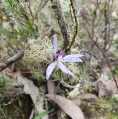 Cyanicula caerulea (Blue fingers) at Piney Ridge - 9 Oct 2020 by nic.jario