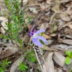 Cyanicula caerulea (Blue fingers) at Denman Prospect, ACT - 9 Oct 2020 by nic.jario